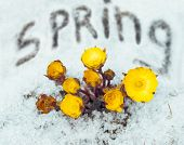 pic of adonis  - Beautiful flowers Adonis among melting snow in the early spring - JPG