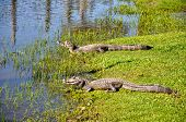 Yacare Caymans, Pantanal, Mato Grosso (brazil)