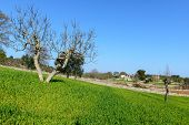 Almond Tree And Trulli In Background, Cisternino (italy)