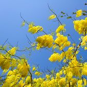 Cassia Fistula In Clear Blue Sky. National Tree Of Thailand