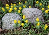 Yellow Erantis Spring Flower In Garden With Rocks