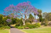 Blooming jacaranda tree in the park, Sydney, New South Wales, Australia