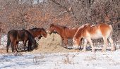 Horses eating hay off of a round bale in pasture on a sunny, snowy winter day