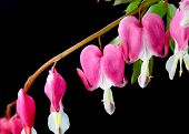 Close up shot of pink bleeding hearts