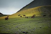 image of hackney  - Herd of horses pasturing in mountain place