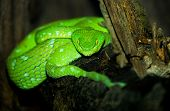 Image of the Very Deadly Green Pit Viper