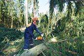 picture of chainsaw  - Lumberjack logger worker in protective gear cutting branch of timber tree in forest with chainsaw - JPG