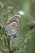 Silver-studded Blue Butterfly, Plebejus Argus