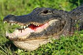 picture of alligator  - American Alligator  - JPG