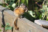 foto of chipmunks  - Least Chipmunk  - JPG