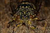 Macro photo of a cicada (Tibicen pruinosus)