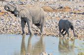 Elephant Calf And Bigger Brother At Okaukeujo