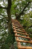 image of walnut-tree  - Wooden ladder to the top of a walnut tree