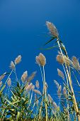 Inflorescence stems Cortaderia against the bright blue sky