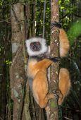 Golden Sifaka, Dancing Lemur Of Madagascar