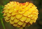 Yellow Dahlia In The Shape Of Heart