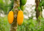 Papayas Hanging From The Tree