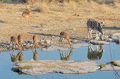 Impalas And Zebra