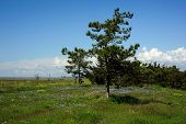 Pine On A Glade
