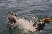 pic of great white shark  - A great white shark goes for the bait and misses at a cage diving boat in South Africa