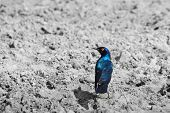 Glossy Starling - Selective Iridescent Blue - African Avian