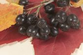 image of chokeberry  - Black chokeberry on a red autumn leaf closeup shot - JPG
