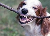 foto of rabies  - Angry red and white irish setter biting a stick - JPG