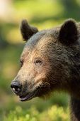 Brown Bear Portrait With Forest Background