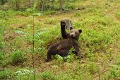 picture of waving  - Brown bear cub waving in the forest - JPG