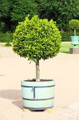 Small Topiary Tree In The Pot