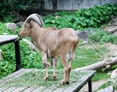 stock photo of billy goat  - The beautiful brown Goat in zoo Thailand - JPG