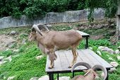 picture of billy goat  - Goat in zoo Thailand