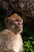 stock photo of macaque  - Gibraltar Monkeys or Barbary Macaques tourist attraction at the Monkey - JPG