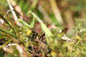 Closeup Of Mantis Religiosa