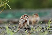 House Sparrow On A Cage