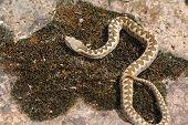 Juvenile Long Nosed Viper On Stone