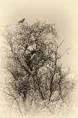 Sepia photo of crows on a tree