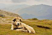 stock photo of herding dog  - Herding dog resting in a mountain landscape - JPG