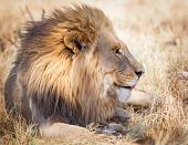 African Lion In Grass