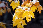 pic of maple tree  - A close up of yellow maple leaves on the branch of a tree covered in snow - JPG
