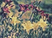 pic of day-lilies  - A group of lilies in a garden taken with a shallow depth of field so that one lily in the foreground is in focus and the rest in the background are blurred - JPG