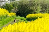 foto of hare  - Hare sits and contemplates the rapeseed blossom - JPG