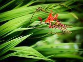 foto of lucifer  - A close up of some Crocosmia Lucifer flowers in bloom and as buds in a garden during the summer - JPG