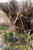 Buds On A Twigs