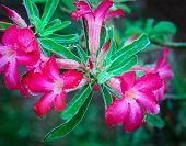 stock photo of desert-rose  - Close up of Desert rose beautiful flowers - JPG