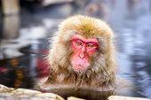 Snow Monkeys in Nagano, Japan.