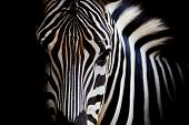 pic of furry animal  - A Headshot of a Zebra animal wildlife on black color background
