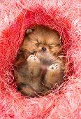 foto of pomeranian  - Little Pomeranian puppy in pink decorative nest - JPG
