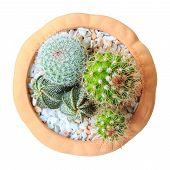 Cactus ( Cereus Hexagonus Mill ) On Flowerpot