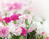 foto of carnation  - Pink and white carnation flowers on bokeh background - JPG